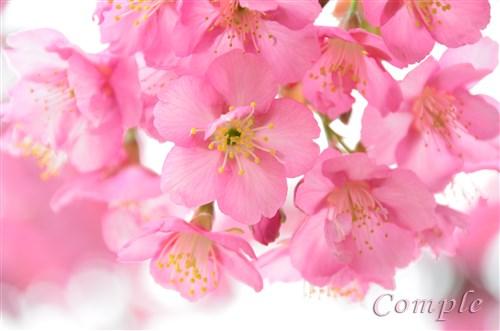 [終了]4月3日 立川昭和記念公園 春の桜と花写真カメラ教室2016
