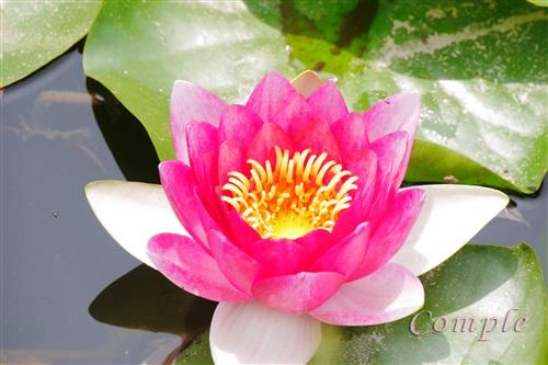 弁天池蓮の花
