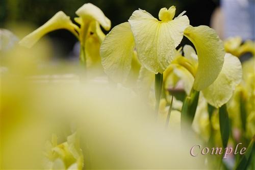 北山公園黄色菖蒲