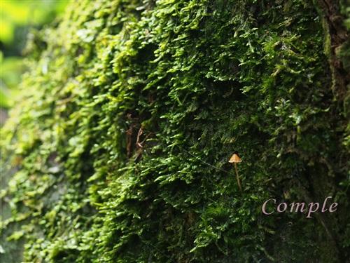 高尾山の苔ときのこ