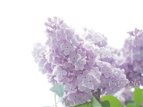 ライラックの花写真と撮り方 札幌創成川公園編