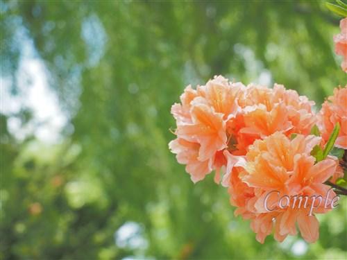 オレンジのツツジ
