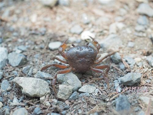 高尾山の沢蟹