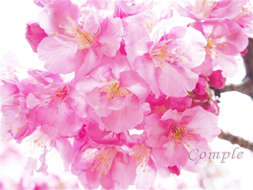 木場の河津桜