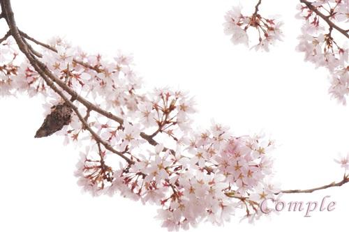 山桜ミノムシ付き