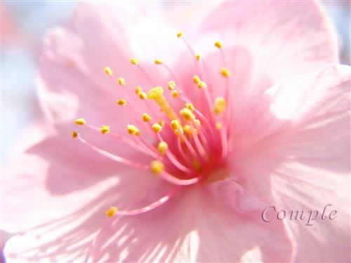 黄色い花と桜家撮り写真