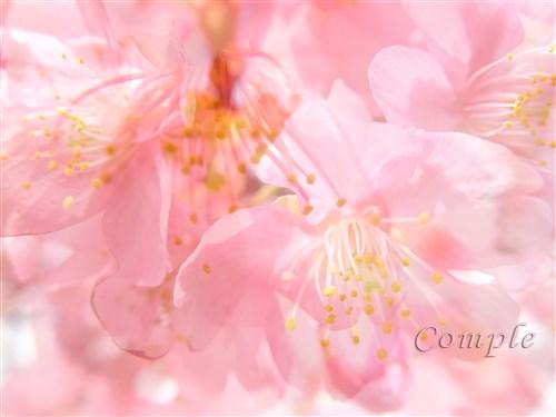 桜写真コンテストに応募して商品を当てよう
