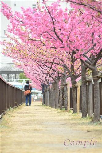 [終了]2月26日、3月2日 河津桜写真カメラ教室@東京木場2019 スマホOK