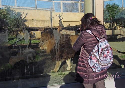 ライオン撮影