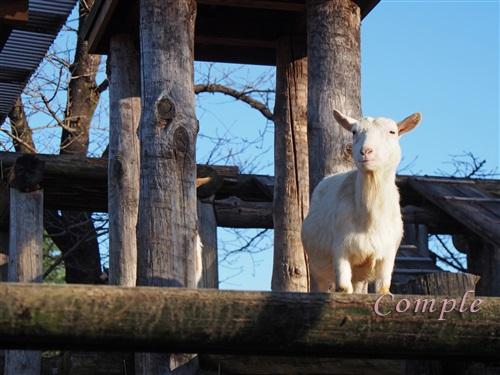 高台のヤギ