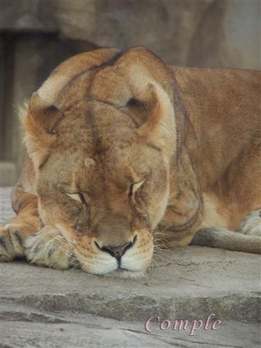寝るメスライオン