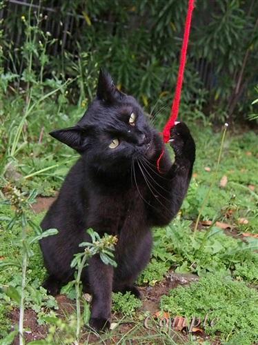 じゃれる黒猫
