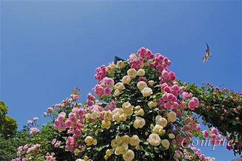 バラと青空風景