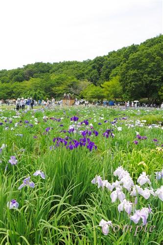 北山公園菖蒲園