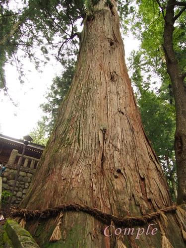 諏訪神社の大杉