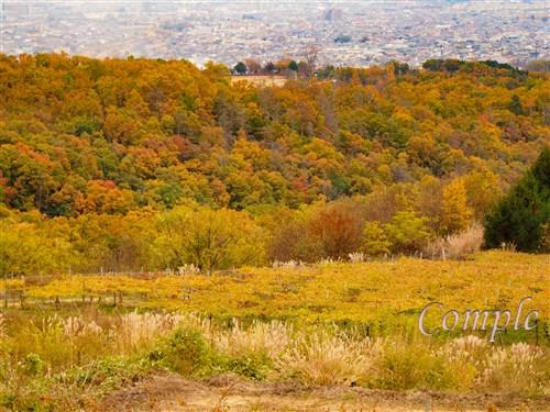 山梨ぶどう畑の黄葉