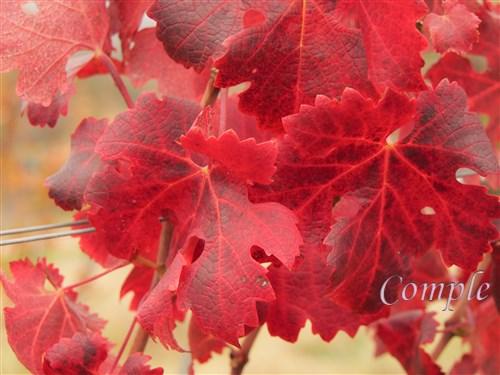 ぶどうの紅葉