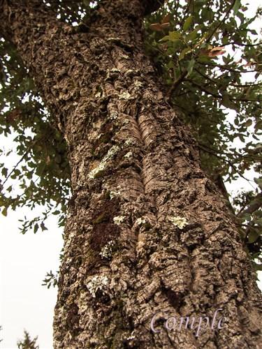 コルクの木