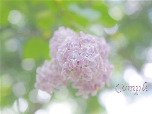 北海道大学植物園ライラック