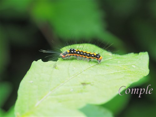 毒蛾の幼虫毛虫