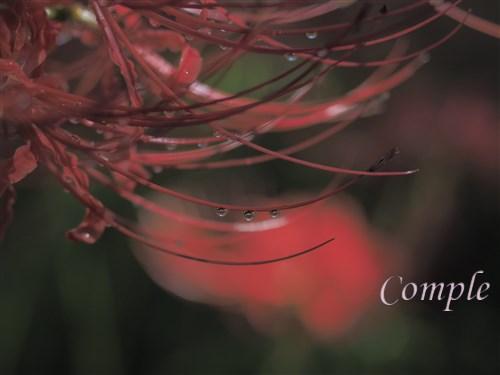 野川公園の彼岸花と水滴