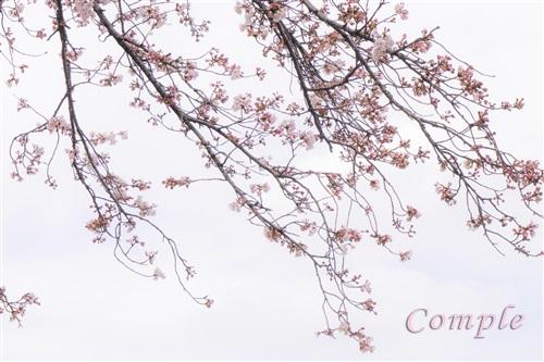 聖蹟桜ヶ丘の桜