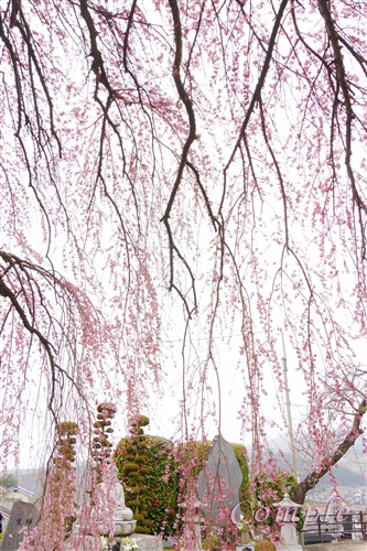 山梨周林寺のしだれ桜