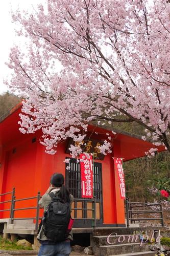 滝本寺の桜