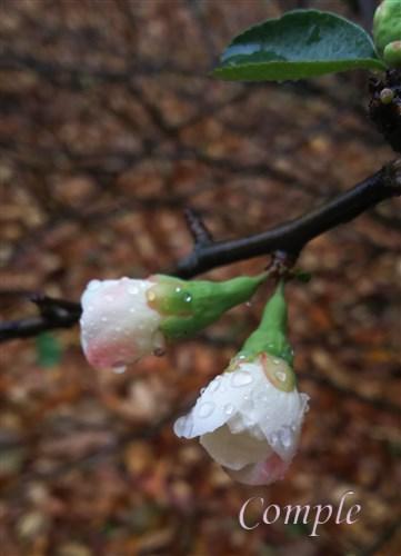 水滴とボケの花