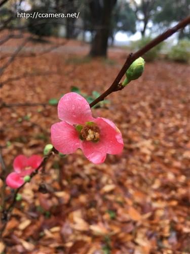 ボケの花と落ち葉