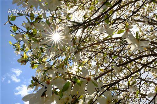 こぶしの花と光条