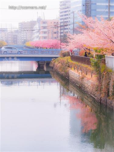 川辺の河津桜