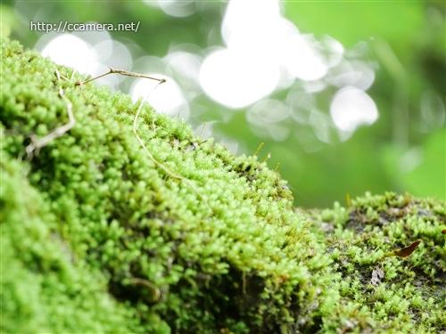 高尾山の苔