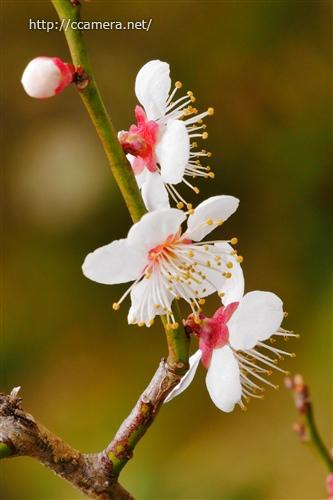 梅の花のしべ
