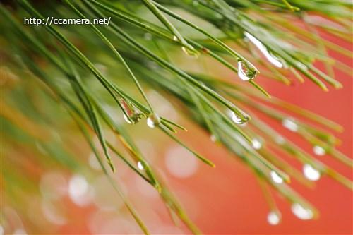 松葉と水滴
