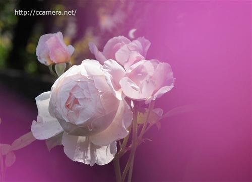 ピンクの前ボケバラ