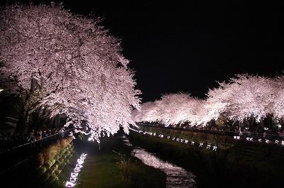 夜桜・白い桜・猫あたまに桜写真