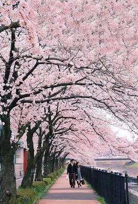 桜写真をきれいに撮るコツは?