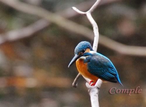 新年鳥撮り、カワセミ写真撮影