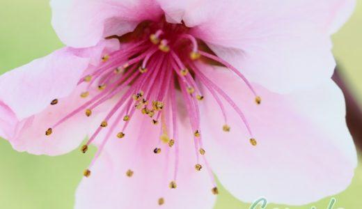 [受講者様の写真]山梨桃の花と調布バラの花カメラ教室