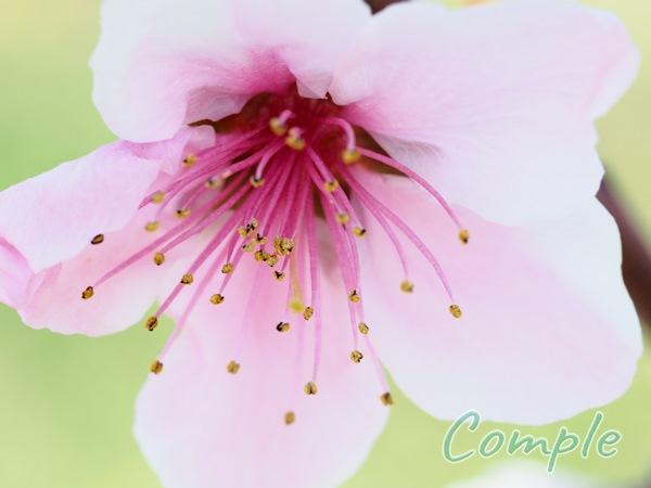 桃の花カメラ教室