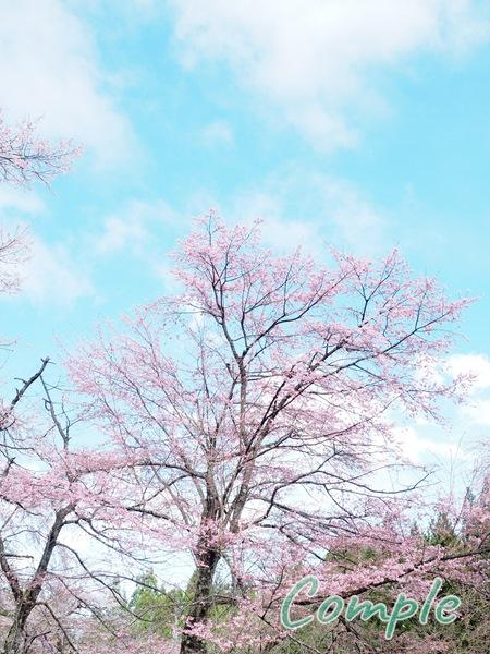 貞麟寺の桜