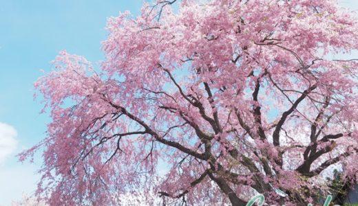 [レポ]白馬1泊春の桜風景写真カメラ教室2019-2 番所の桜は大迫力