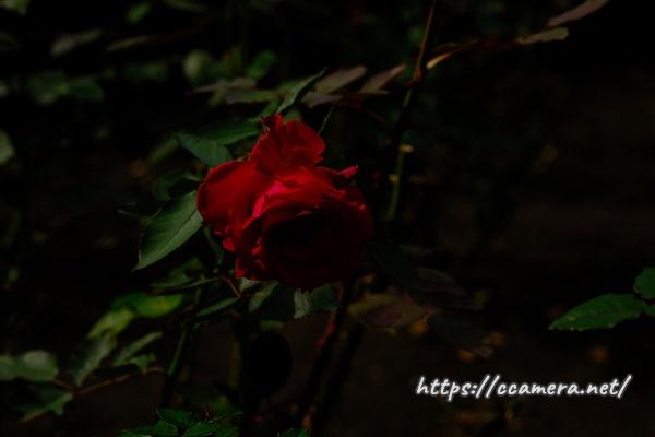 暗めの赤バラ