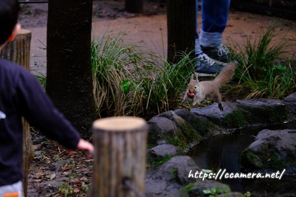 井の頭動物園のリス