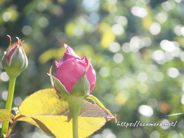玉ボケとバラ
