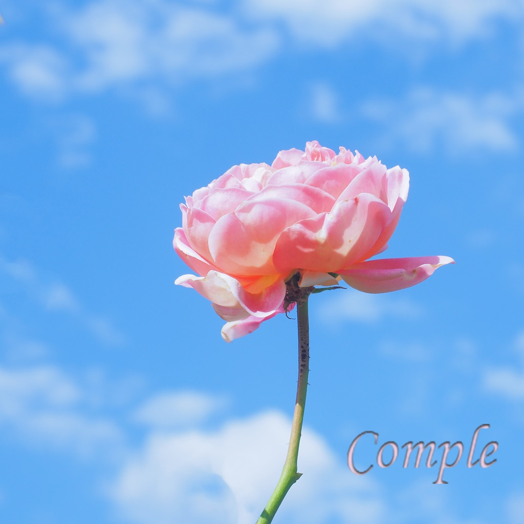 バラと青空