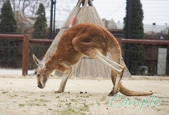 東武動物公園カンガルー