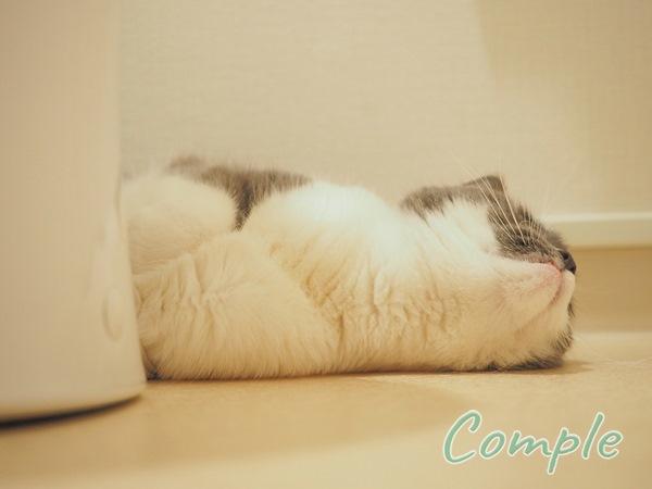白グレー猫