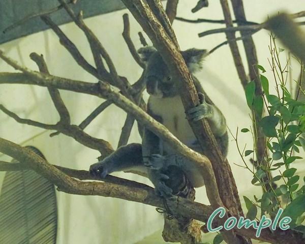 多摩動物公園コアラ